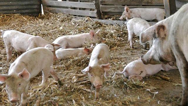Charla debate sobre el modelo de producción porcina para proveer al mercado asiático
